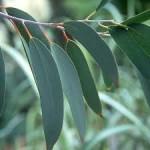 Fragrance Friday – Eucalyptus Essential Oil